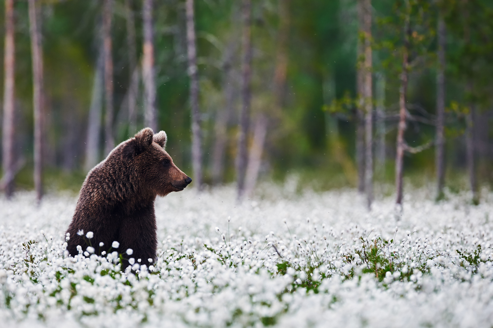 Bear 1600x